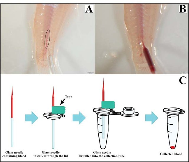 Fish-position-during-blood-sampling-A-the-installation-of-glass-needle-with-the_W640