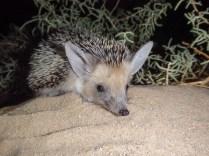 So cute Desert Hedgehog (Paraechinus aethiopicus, Hérisson du désert)