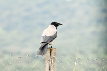 Hooded Crow (Corvus cornix, Corneille mantelée)