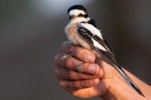 Masked Shrike (Lanius nubicus, Pie-grièche masquée)