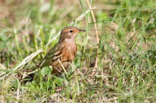 Red-throated Pipit (Anthus cervinus, Pipit à gorge rousse)