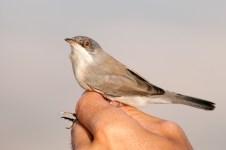 Menetries's Warbler (Sylvia mystacea, Fauvette de Ménétries )