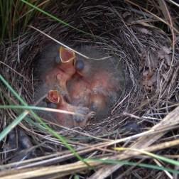 Chick of Ortolan bunting (Emberiza hortulana, Bruant ortolan)