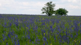 Salvia meadow