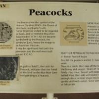 Top 3 Uses for Roman Peacocks
