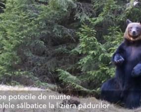 (Video) Ursul Ballo, din Piatra Craiului: A început să danseze în pădure 7
