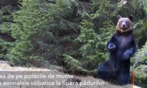 (Video) Ursul Ballo, din Piatra Craiului: A început să danseze în pădure 12