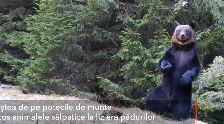 (Video) Ursul Ballo, din Piatra Craiului: A început să danseze în pădure 2