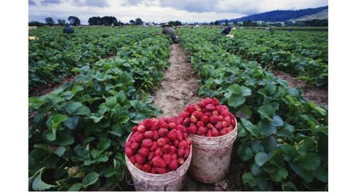 Spaniolii rămân cu căpșunile pe câmp pentru că românii nu mai vor să le culeagă. Ziua se plătește între 42,02 și 43,81 euro 1