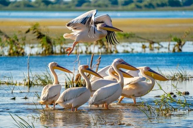 Pelicani - Delta Dunării