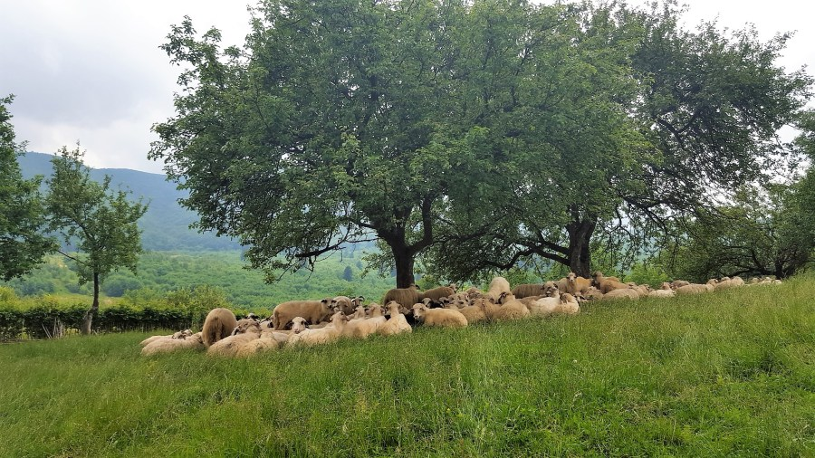 Sheep in Romania