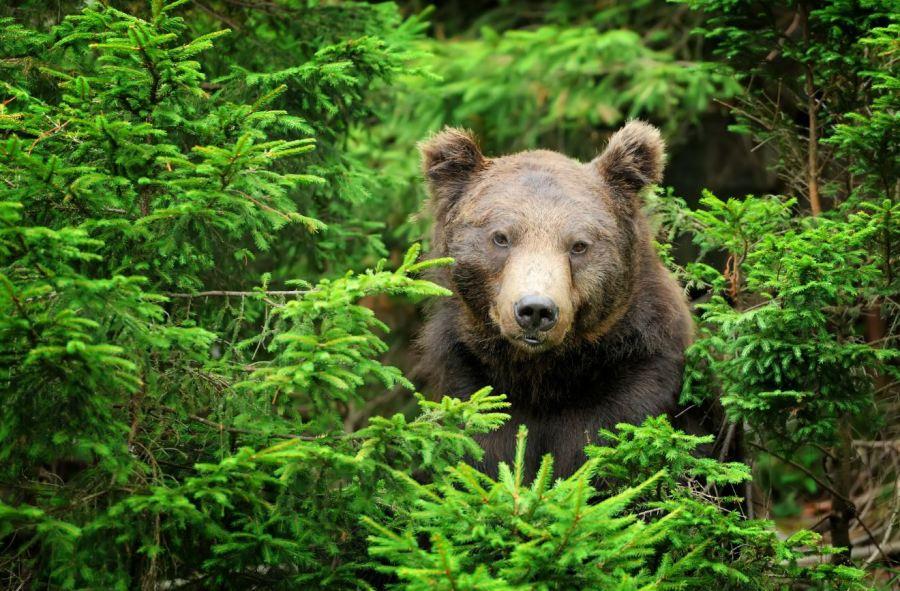 ce faci daca te intalnesti cu ursul