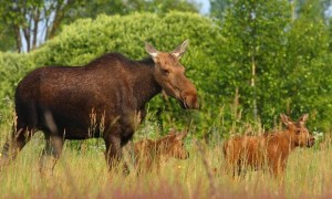 Chernobyl-wildlife-1