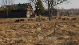 Chernobyl-wildlife-2
