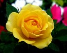 yellow shory rose