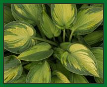 Hosta Plant Leaves.