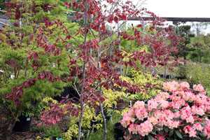 TriColor_Rhododendron_300