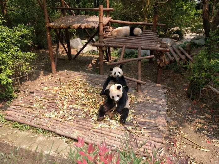 Pandas en Chengdú, China, 2017