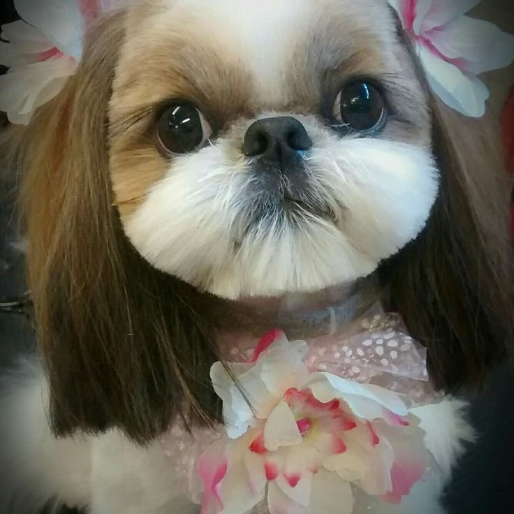 The Best 74 Best Shih Tzu Grooming Hairstyles Images On Pinterest Pictures