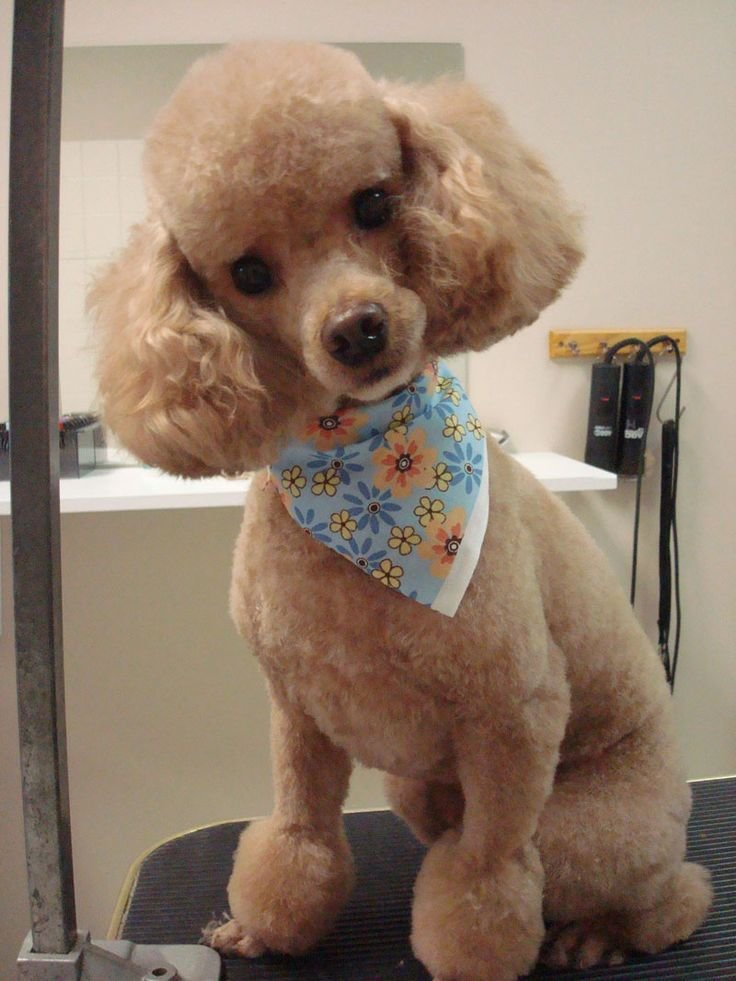 The Best Best 25 Poodle Haircut Ideas On Pinterest Poodle Teddy Bear Cut Poodles And Poodle Cuts Pictures