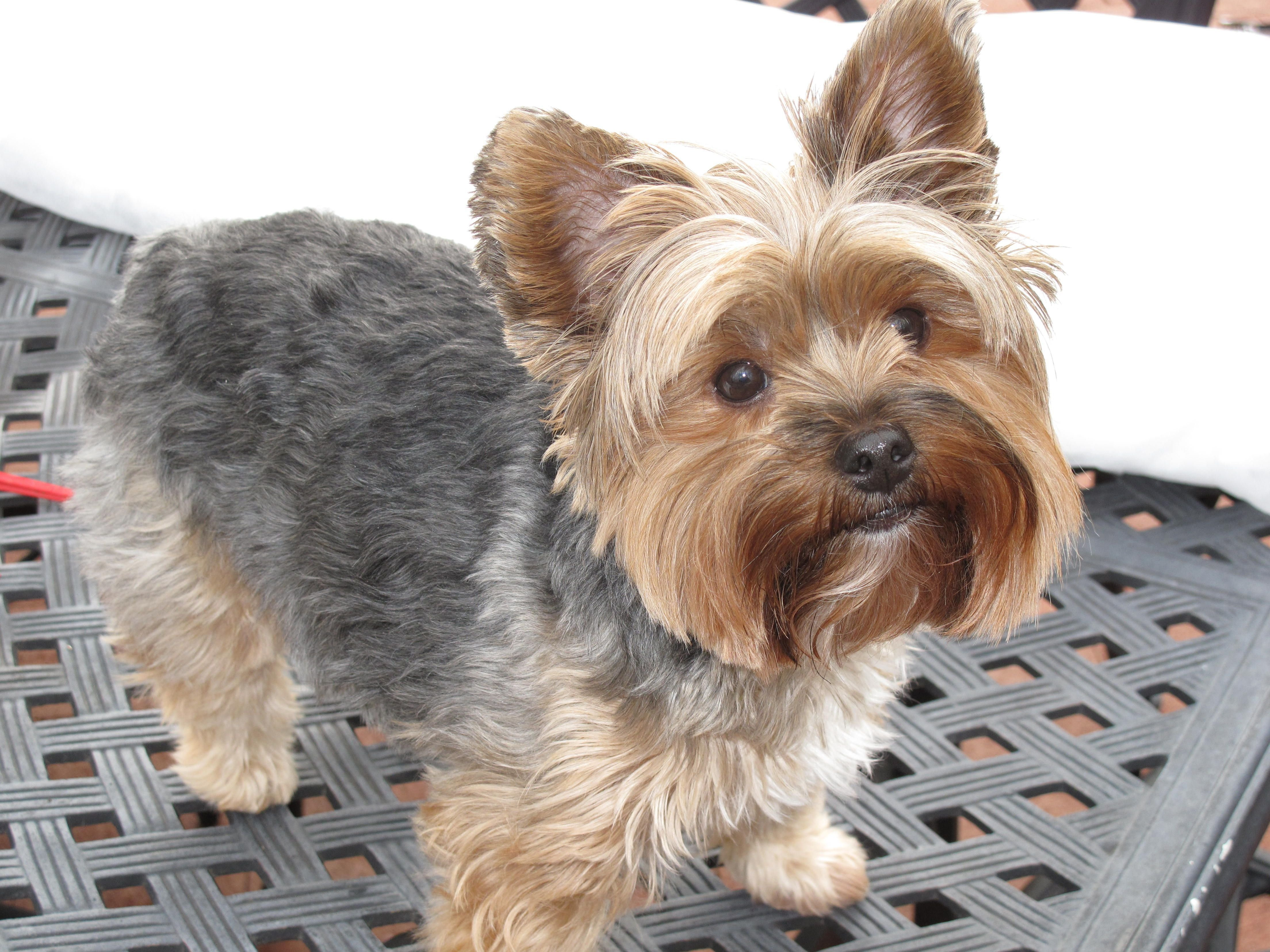 The Best Yorkie Poo Haircuts Yorkie Haircuts Pictures Doggies Yorkie Hairstyles Yorkie Haircuts Pictures