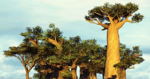 The Best Is Baobab Oil The New Argan Oil Naturallycurly Com Pictures