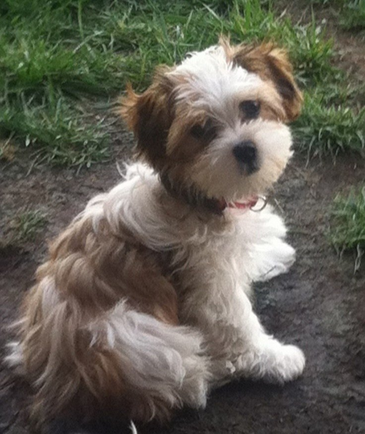The Best 40 Best Shihpoo Shih Tzu Poodle Cross Images On Pinterest Pictures