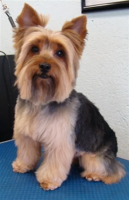The Best 1000 Images About Yorkies Haircuts On Pinterest Gifts Pictures