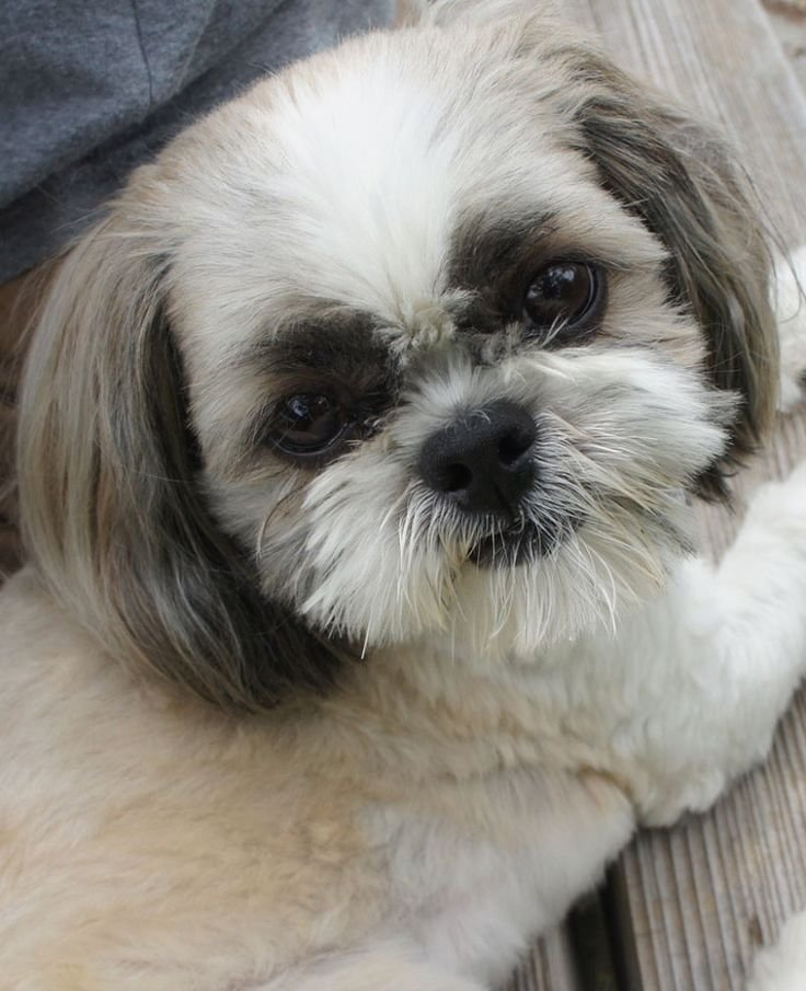The Best 2323 Best Images About Shih Tzu Crazy On Pinterest Puppylove Dogsofinstagram And Puppys Pictures