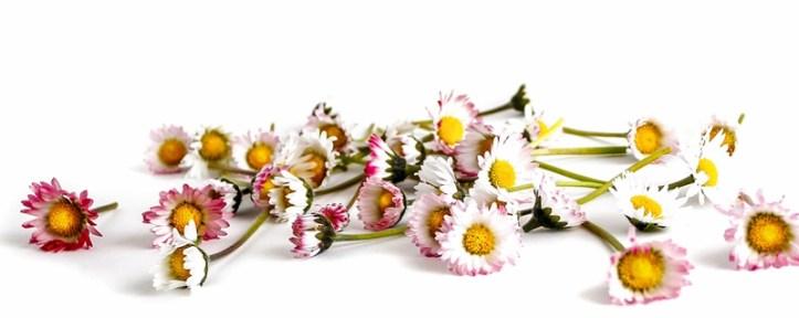 Gänseblümchen Blüten und Stängel auf weißem Untergrund