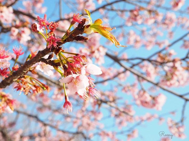 鶴岡八幡宮の大寒桜