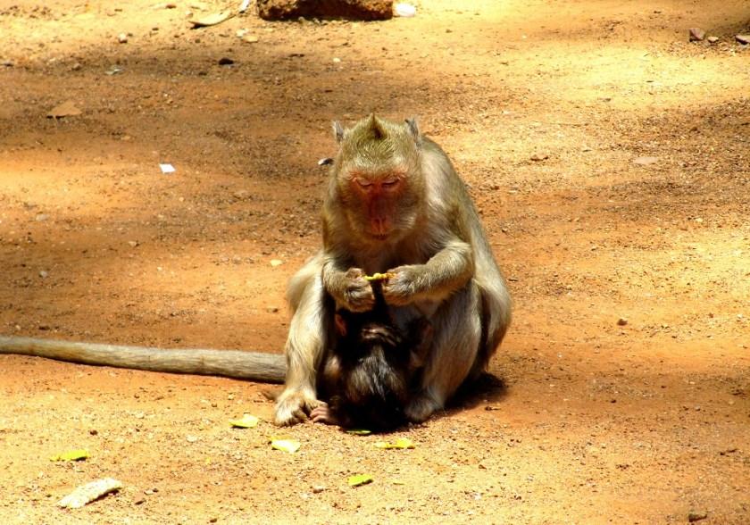 Monkey Cambodja