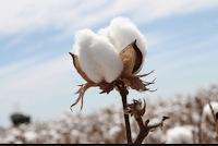 Mi köze van a tamponnak Monsantohoz?