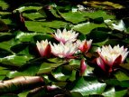 European White Waterlily