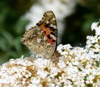 Painted Lady on a white flower