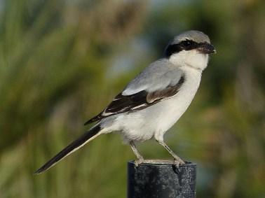 Desert Grey Shrike