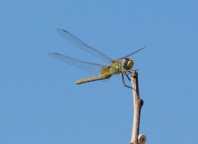 More Dragonflies on Samos
