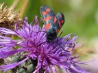 The six-spot burnet-2