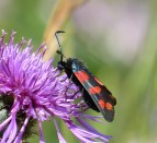 The six-spot burnet-1