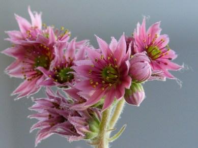 Vetplant in bloei-3