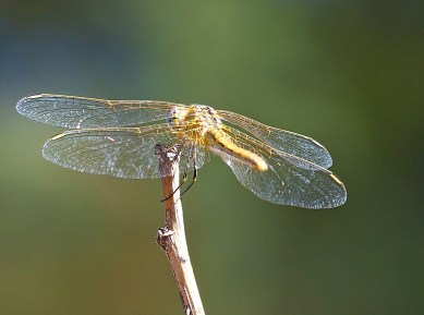 Wings of Dragonfly-3