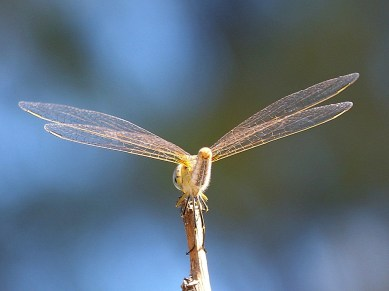 Wings of Dragonfly-2