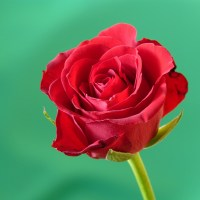 Red rose part 2
