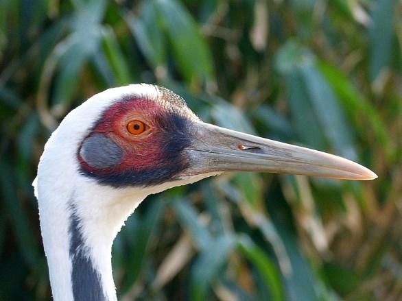 Large beaks-crane