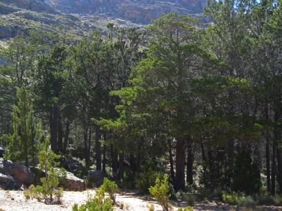 Cedars at De Rif