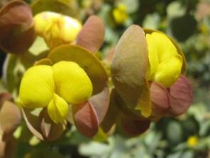 Rafnia amplexicaulis
