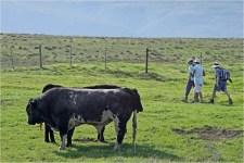 Benign bulls ?