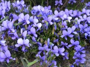 Viola decumbens