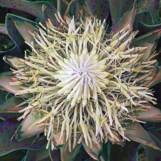 Ghostly protea bloom