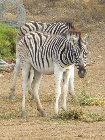 Zebra at the farmyard
